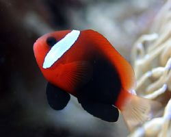 Able to leap tall anemones... it's Super Clownfish! Waka... by Michael Canzoniero