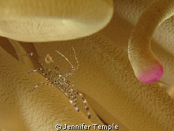 Shrimp in Anemone. Yes, a bit of a crop, as my 2nd Macro ... by Jennifer Temple