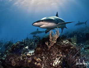 The sun sheds good light on this Reef Shark at Shark Para... by Steven Anderson