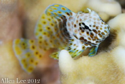 I love Blenny.Nikon D80,105mmVR,f13,1/125,YS-120*2. by Allen Lee