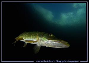 Pike Fish Attitude III by Michel Lonfat