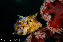 cute Cowfish.Nikon D80,105mmVR,f11,1/125,YS-120*2. by Allen Lee