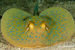 Juvenile Spotted Ray by Spencer Burrows