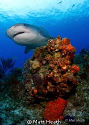Emma the Tiger Shark by Matt Heath