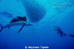 Sail Fish with diver, Isla Mujeres Mexico Nikonos V, 15 mm by Alejandro Topete