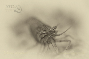 Shrimp post processing in Silver Efex Pro by Mona Dienhart