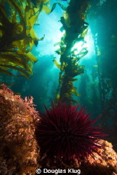 Moneymaker. A close-focus wide-angle shot of a red urchin... by Douglas Klug