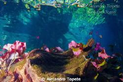 Colores de Agua Sagrada, Gran Cenote Tulum Mexico by Alejandro Topete
