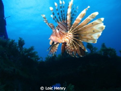 Lionfish by Loic Henry