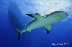 Reef Shark and The Shear Water by Gary Curtis