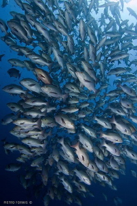 Redsnappers Explosion by Pietro Formis