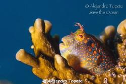 Blenny en Plataforma, Isla Lobos Mexico Canon 7D, 60 mm,... by Alejandro Topete