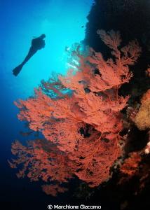 Red coral Nikon D200 , 60 micro , twin strobo North Sul... by Marchione Giacomo