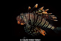 lionfish - out of the dark by Claudia Weber-Gebert