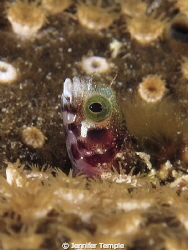 Secretary Blenny Portrait. Roatan, Honduras. Canon S90 by Jennifer Temple
