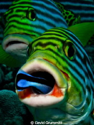 Queue at the dentist.  Sweetlips having a clean in the Ma... by David Grummitt