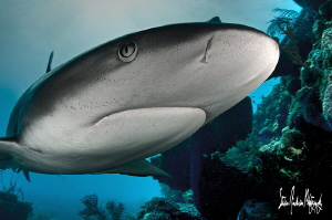Reef Sharks seem to be the most photogenic when diving in... by Steven Anderson