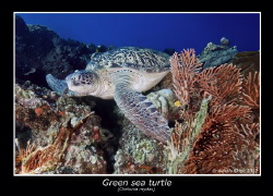 green sea turtle by Alessio Oddo
