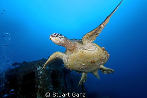 "Green Sea Turtle (old male) taken on the ship wreck ""Sea ... by Stuart Ganz"