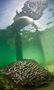 School of catfish and an observer from above. Loloata Pie... by Tony Cherbas