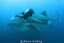 Whale Shark encounter by Alexis Golding