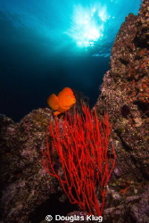 Clear Water, Sun, and Color. A Garibaldi crosses over a b... by Douglas Klug