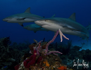 This image of Reef Sharks cruising the reef was taken on ... by Steven Anderson