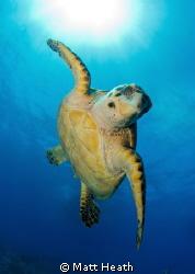 Hawksbill Turtle by Matt Heath