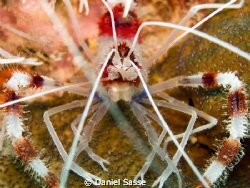 Coral Banded Shrimp Portrait. Taken while Scuba Diving at... by Daniel Sasse