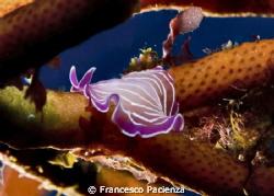 Platelminta rosa. by Francesco Pacienza