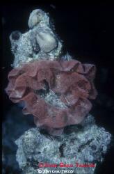 Nudibranch egg masses by Juan Grau Tascón