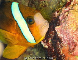 clownfish ventilating the eggs with its fins by Oscar Miralpeix