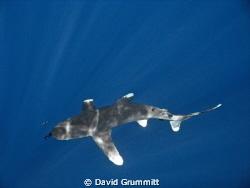 Oceanic White Tip in the sunlit blue by David Grummitt