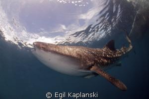 Whale shark at Cendrawasih Bay, West Papua. by Egil Kaplanski