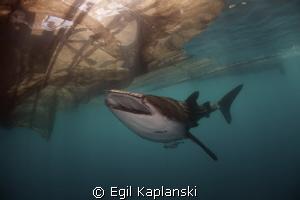 Whale Shark by Egil Kaplanski
