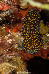 Leopard Flatworm by Lowrey Holthaus