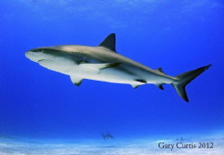 Beauty of the Shark. by Gary Curtis