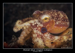 blue ringed octopus by Alessio Oddo