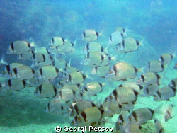 A school of Diplodus fishes by Georgi Petsov