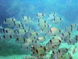 A school of Diplodus fishes by Georgi Petsov