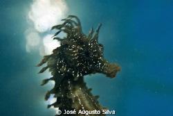 seahorse backlight Nikon d700 Nikor105mm lens by José Augusto Silva