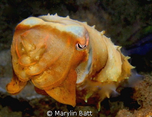 Small cuttlefish close up. by Marylin Batt