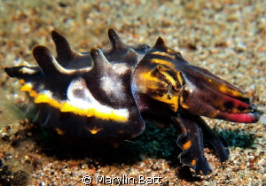 Flamboyant cuttlefish by Marylin Batt