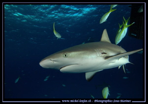 Reef shark near Tiger Beach.... by Michel Lonfat