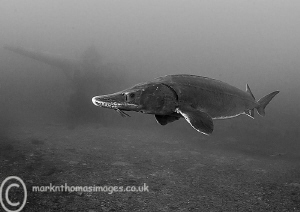 Sturgeon.