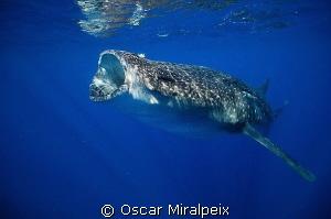 whaleshark feeding by Oscar Miralpeix