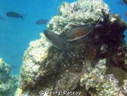 Fish's dance around a rock by Georgi Petsov