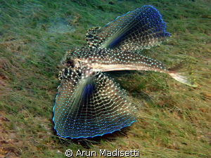 Flying Gurnard flying by Arun Madisetti