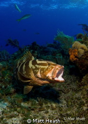 Nassau Grouper by Matt Heath