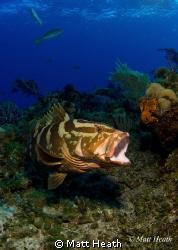 Nassau Grouper by Matt Heath